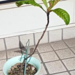 びわ枇杷の苗木