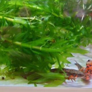 アカハライモリの幼生 変異個体♂✕変異個体♀