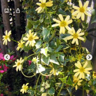 観葉植物 マーガレットアイビー鉢植え