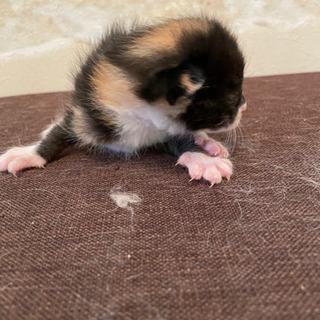 生後10日くらいのミケ子猫 メス