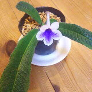 ストレプトカーパス 9cmポット苗 花色:白紫 常緑性多年草