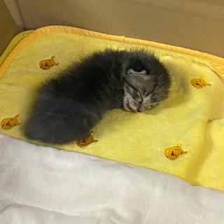 生後10日程のキジトラ。無事里親さんが見つかりました!