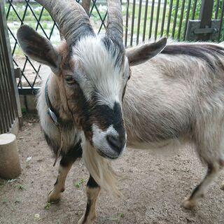シバヤギ系の2歳のオスヤギ