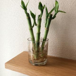 観葉植物 ミリオンバンブー 3本セット ナチュラルキッチン…