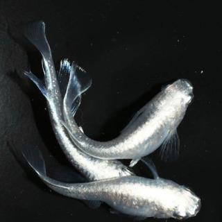 メダカ、プラチナミユキリアルロングフィン発眼卵5個