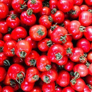 【週1日OK】ミニトマトの収穫作業【1日3時間~OK】