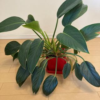 観葉植物 フィロデンドロン 鉢付き