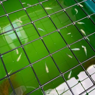 メダカをお譲りします!値段応相談!緑光鋼、緑光、黒百式と緑…