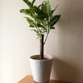 観葉植物 クロトン・ギンガ 35cm 3号底面給水鉢付き