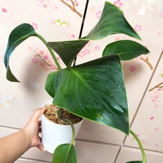 【ネット決済】観葉植物 大きめ
