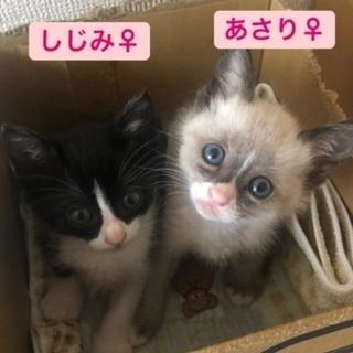 3/23 子猫だけのミニミニ譲渡面談会(貝汁姉妹)