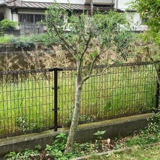 [決定しました]オリーブの木 地植え シンボルツリー