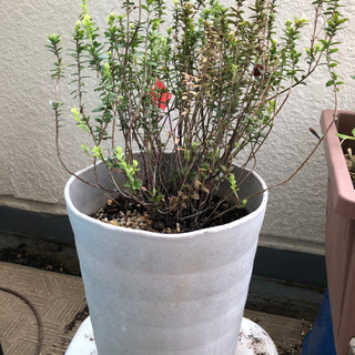 クランベリー 鉢植え