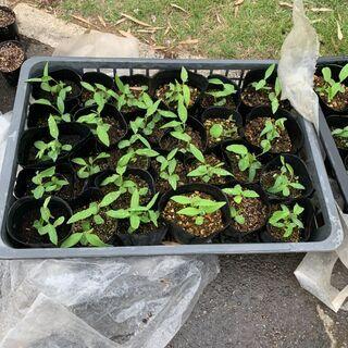 半数が決まりました。  バタフライピー(蝶豆)の苗 1ポッ…