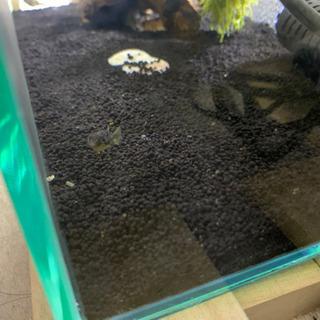 世界最小の淡水フグ アベニーパファー