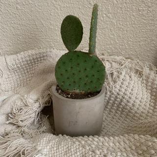 観葉植物 サボテン インテリア アクタス
