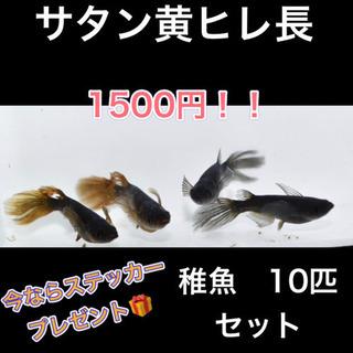 大特価! サタン黄ヒレ長 めだか 無選別稚魚