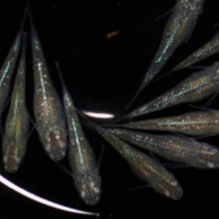 緑光ラメ 無選別稚魚 10匹セット