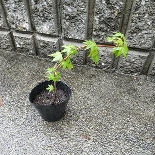 🌿 植物シリーズ 🌿 紅葉  もみじ  モミジ  苔玉  …