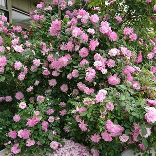 薔薇を挿木にしたいので枝を少しでもいいので譲って下さい。