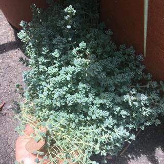 観葉植物・小さなバラみたいなセダム