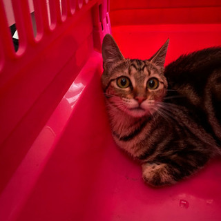 里親募集 美人猫ちゃん アメショー風 函館市近郊