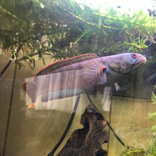 希少 熱帯魚 バーミーズレッドフィン スネークヘッド - 京都市