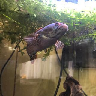 希少 熱帯魚 バーミーズレッドフィン スネークヘッド - その他