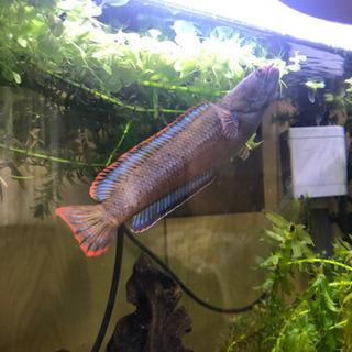 希少 熱帯魚 バーミーズレッドフィン スネークヘッドの画像
