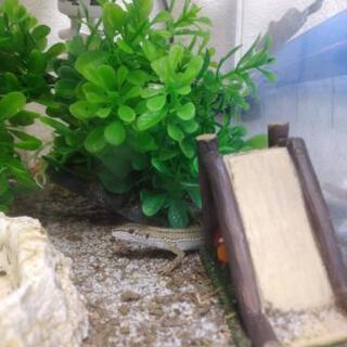 カナヘビ譲ります