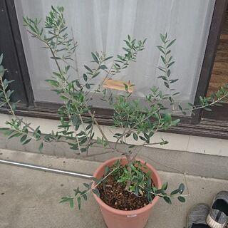 オリーブの植木2