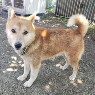おとなしめの可愛い柴犬風の犬 − 徳島県