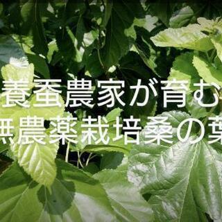【ネット決済】桑の葉 生 無農薬 新鮮 ペット用に