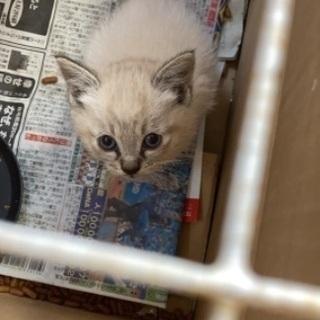 生後約2ヶ月の猫ちゃん2匹の里親募集