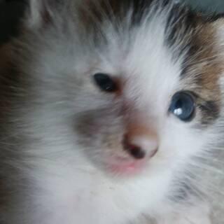 ♀ミケトビの保護仔猫、手渡し希望です