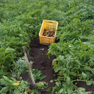 新じゃがいも 5キロ ジャガイモ 野菜