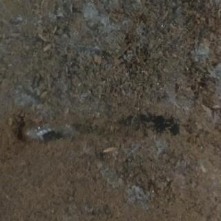 【セール!】 ムルティデンタトゥスホソアカクワガタ 幼虫4頭セット - 東海市