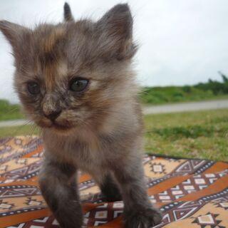 ふわふわ子猫 2~3か月 メス 2匹