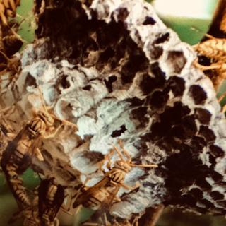蜂の巣 駆除 撤去 松伏町