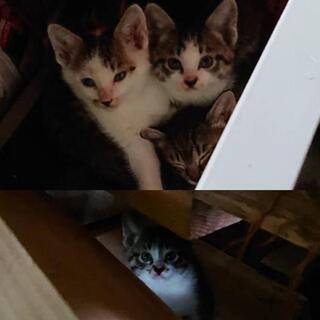生後1ヶ月の子猫ちゃん 5匹 親猫ちゃん1匹 届出済み(飼い主不...