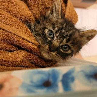 野良の子猫 シマシマ 生後1ヶ月程