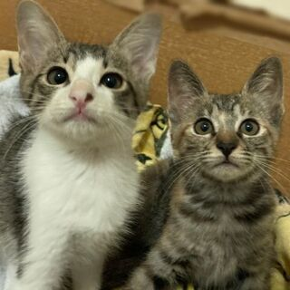 2ヶ月兄弟子猫の里親様募集