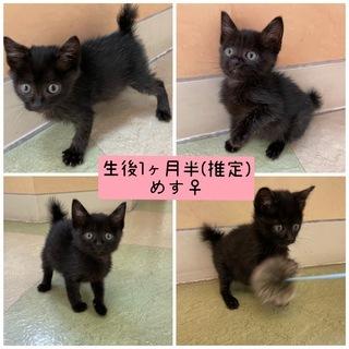 生後1ヶ月半の子猫ちゃんの里親を募集しています2