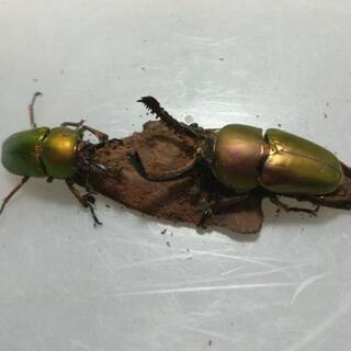 【セール!】 パプアキンイロクワガタ 幼虫5頭セット