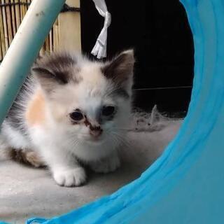 ★トライアル中★子猫の里親を募集しています。(三毛)