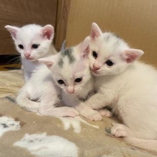 生後1ヶ月の白猫ちゃん