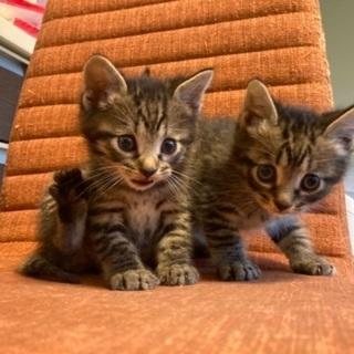 2021年4月生まれのキジトラ子猫2匹