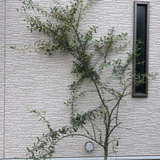 【ネット決済】オリーブの木(枝)
