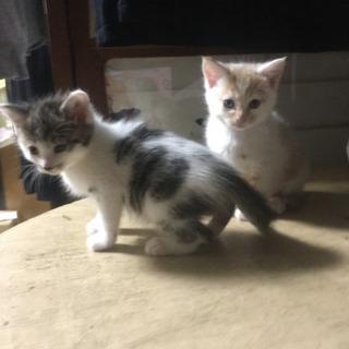 子猫を育てていただける方を探しています