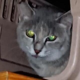 親子 母猫(灰まだら)+子猫2匹(オス:キジトラ) 迫害を受けて...